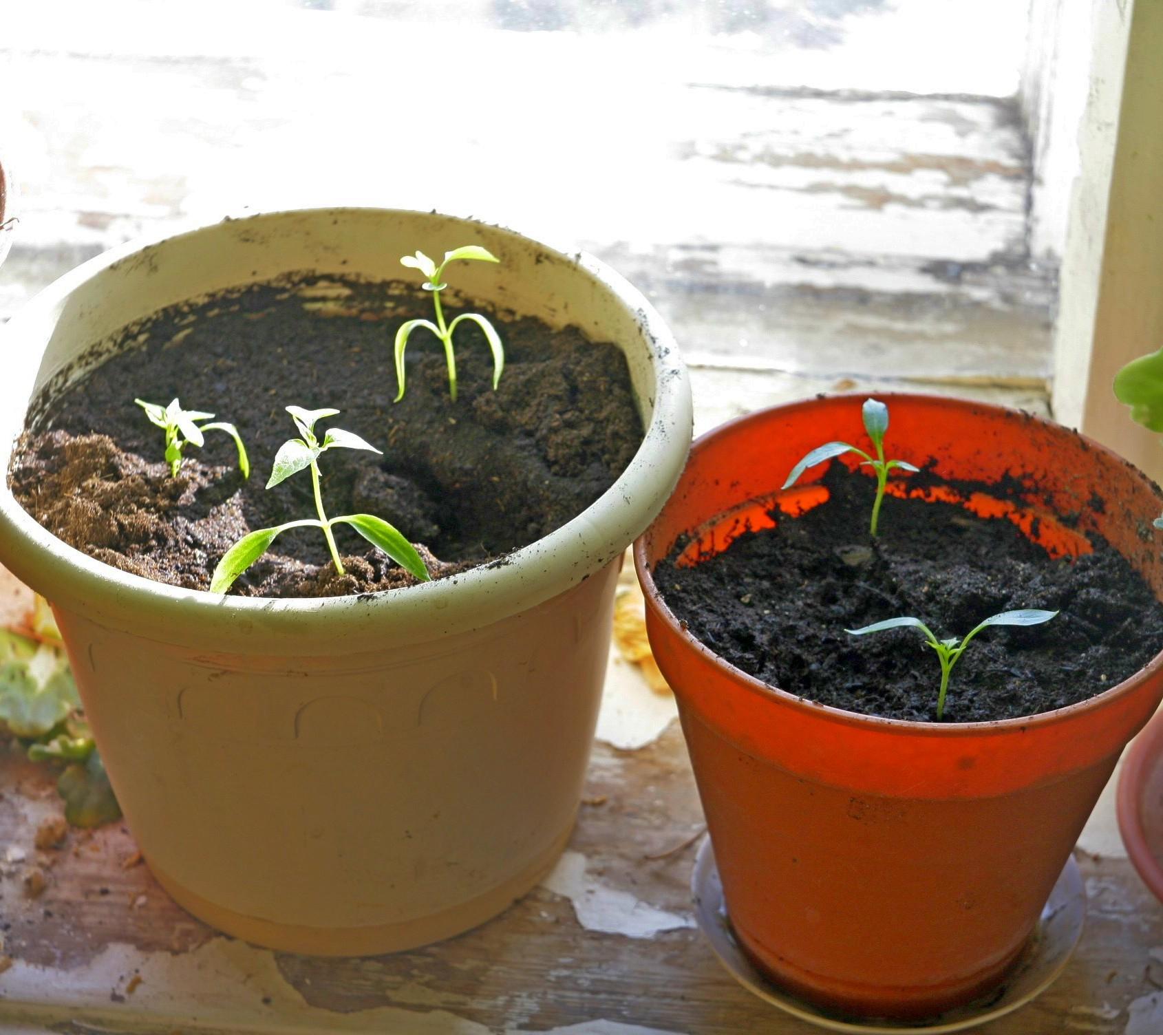 Советы по выращиванию перцев из семян в домашних условиях 61